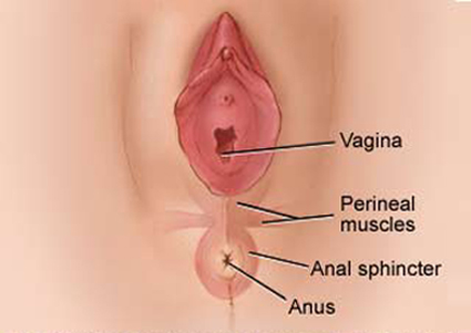 The illustration below portrays the normal perineal anatomy.