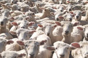Homebirth sheeple