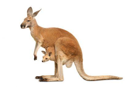 Isolated kangaroo with cute Joey
