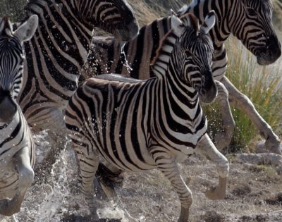 Lion hunting zebras