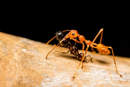 Close up Red ant killing bite and drag black ant to eat.