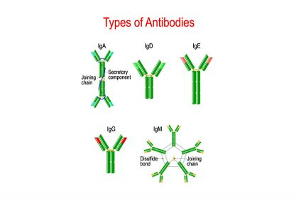 Types of Antibodies. immunoglobulin structure